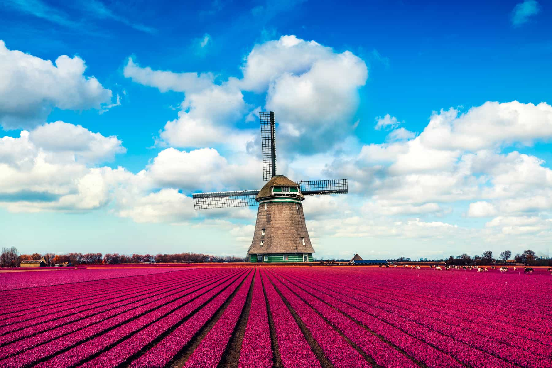 Colorful Tulip Fields in front of Dutch Windmill - Partenza Travel creates luxury travel packages to The Netherlands
